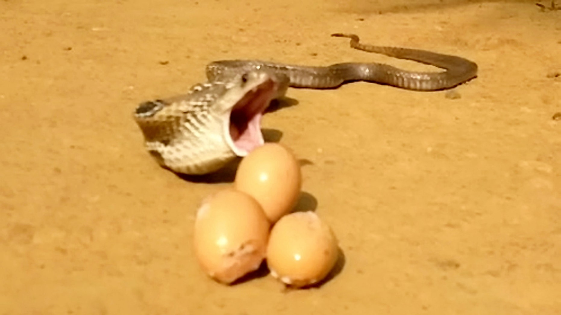 Video grab of a snake regurgitating seven eggs in Kerala, India. Sujith VP was called to remove the snake after it attacked a henhouse and proceeded to swallow eight eggs. The cobra was later filmed throwing up seven of those eight eggs.