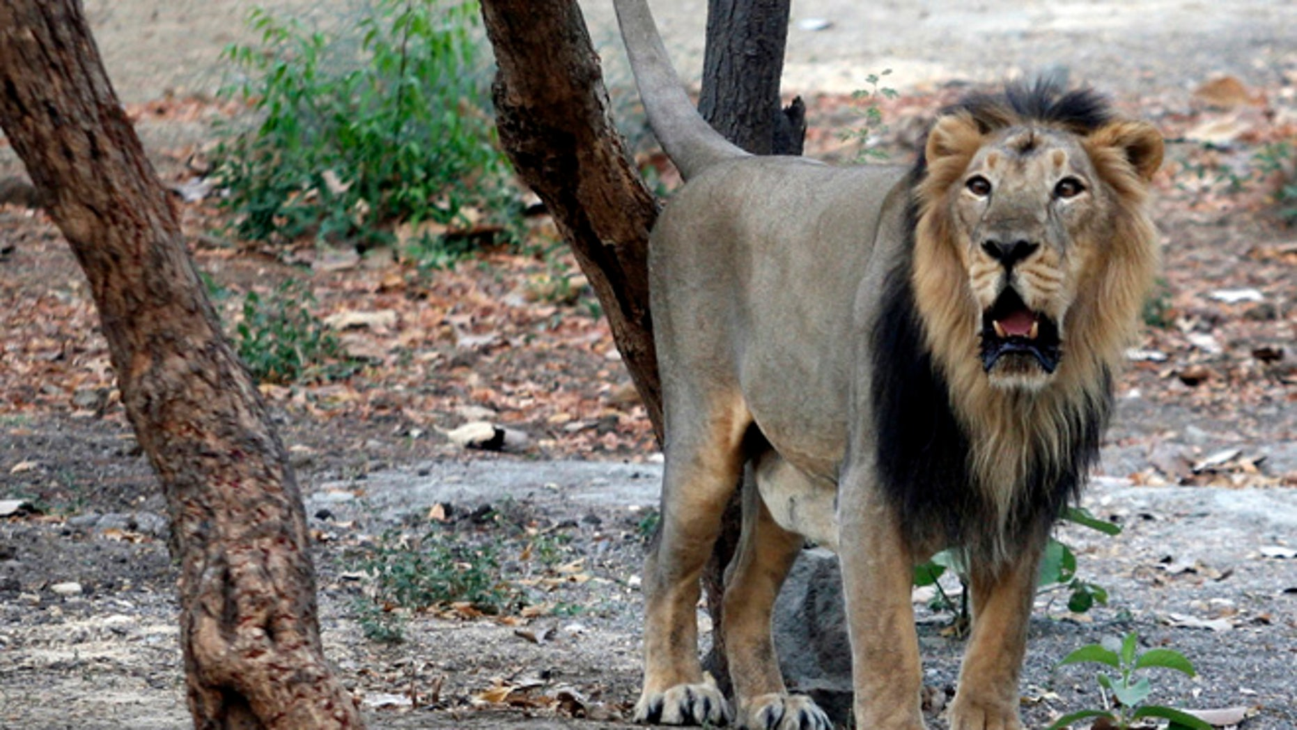 FILE: An Asiatic lion is seen in the west indian town of Ahmedabad