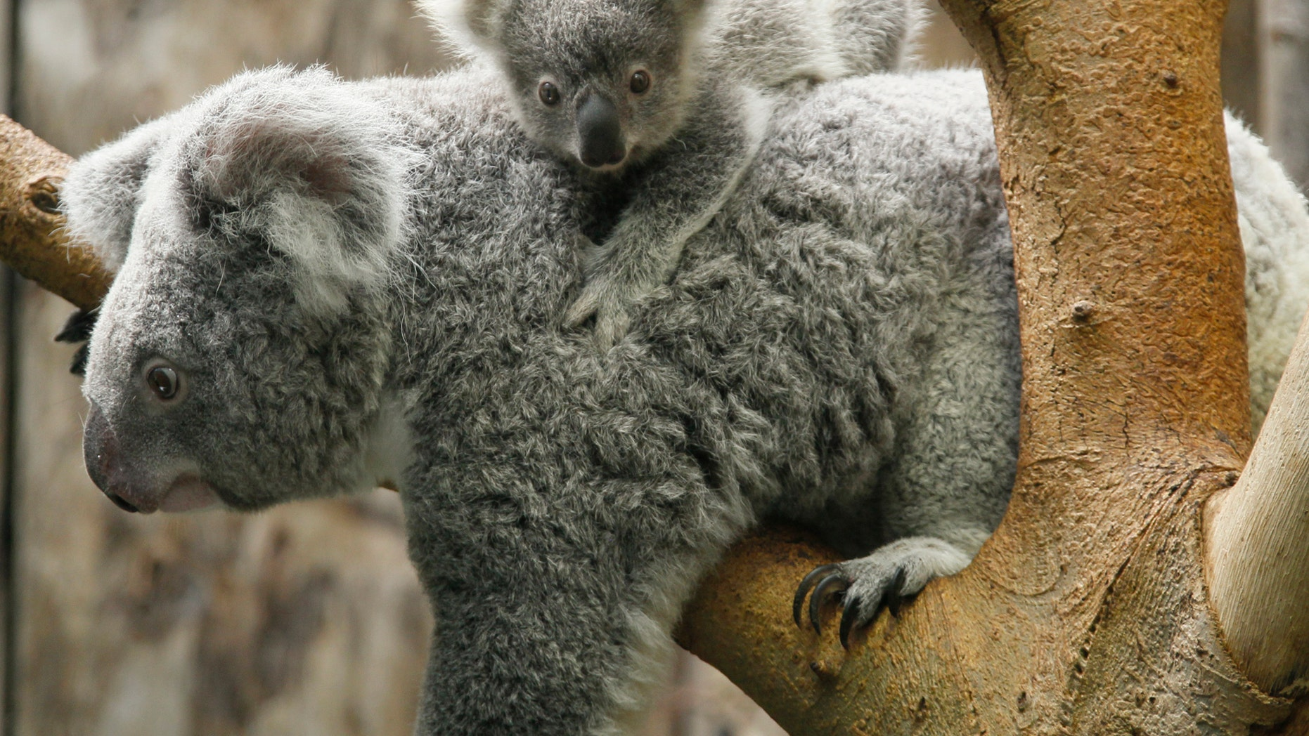 File photo: A koala joey hangs on its mother Goonderrah, the Aboriginal name for fighter, following a weighing procedure at the zoo in the western German city of Duisburg June 11, 2010. (REUTERS/Wolfgang Rattay)