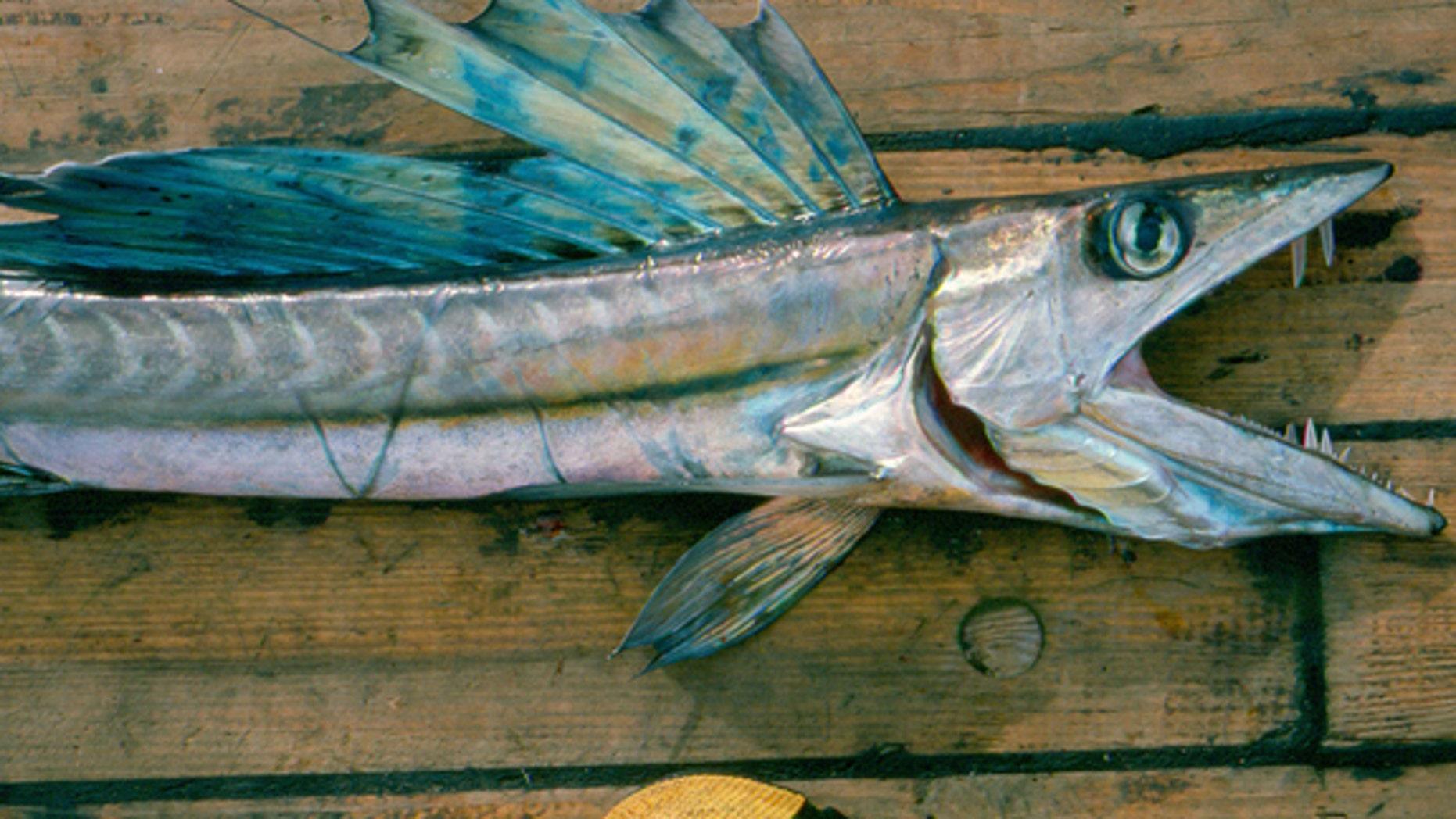 A long-snouted lancetfish (Alepisaurus ferox).