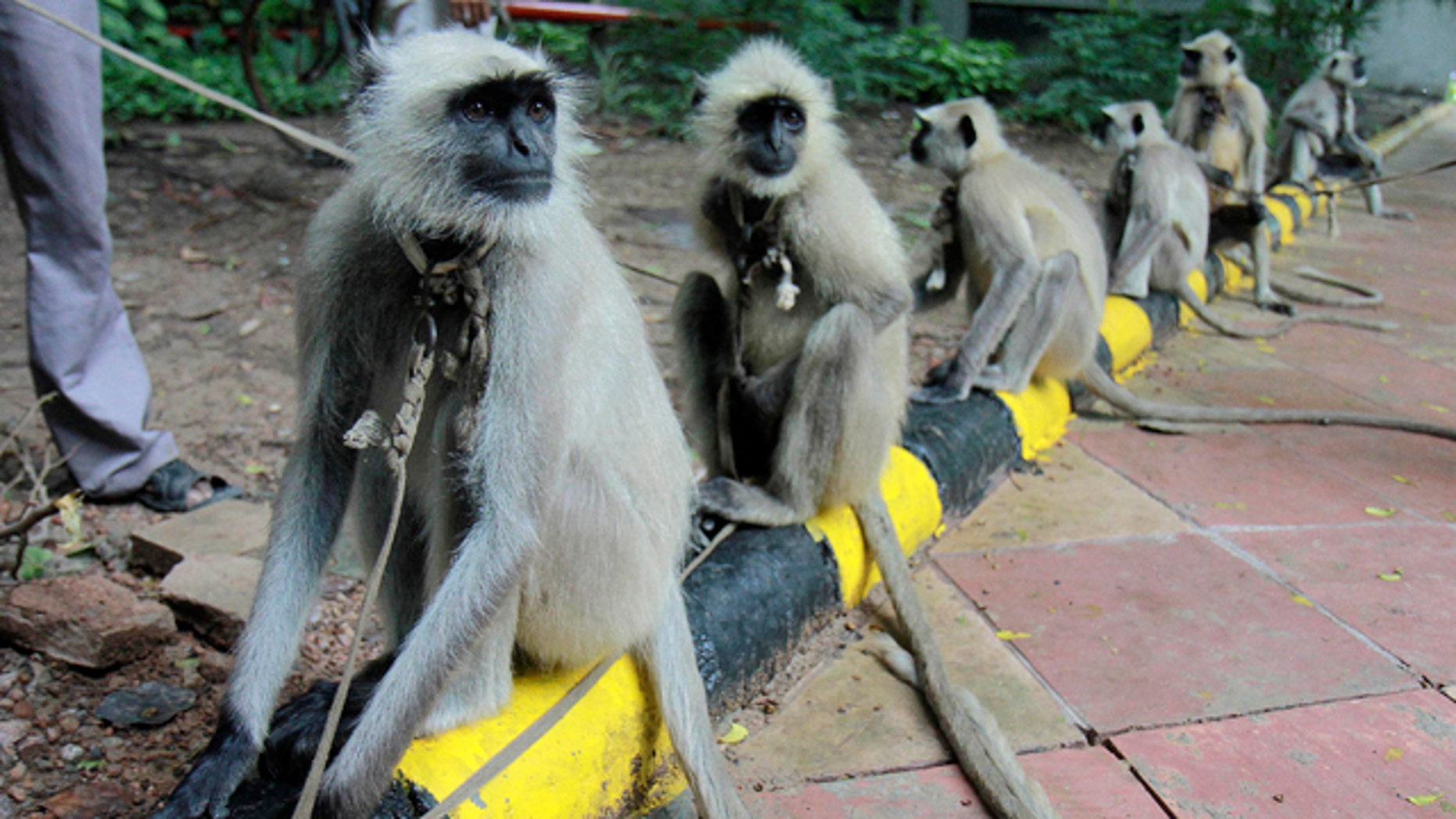 In this Wednesday, Sept. 22, 2010 photo, langurs stand on leash held by their owners in front of the Commonwealth Games headquarters in New Delhi. Games officials and civic authorities have deployed langurs, a particularly ferocious breed of apes, at various games venues to keep away monkeys known to create nuisance and also attack humans.