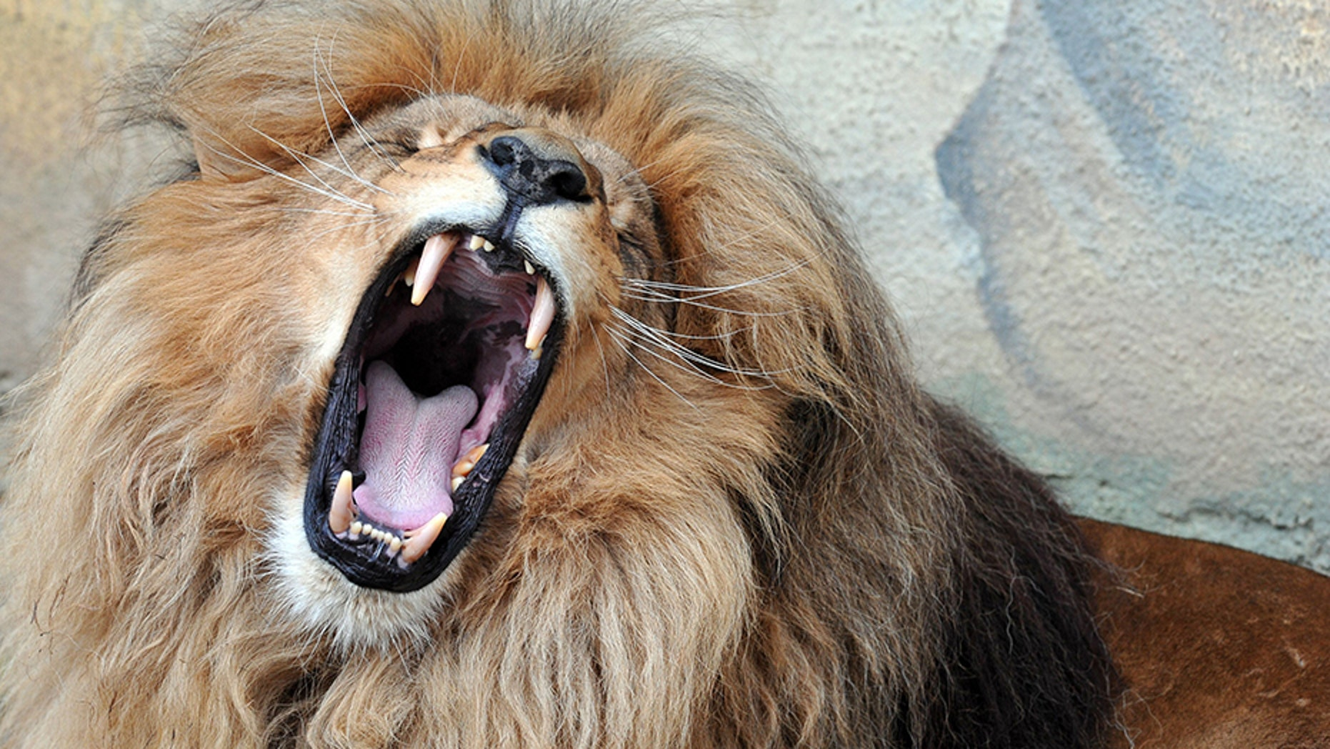 Male lions generally start to get manes starting around the age of one or two, a sign of sexual maturity.