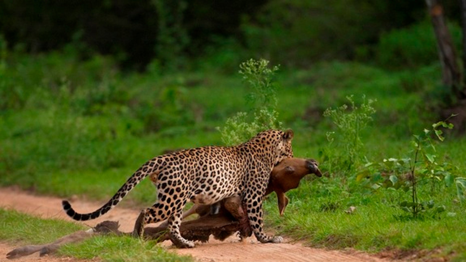A leopard drags a bison calf to a safe spot in this photograph captured by a visitor to Bandipur Tiger Preserve in India.