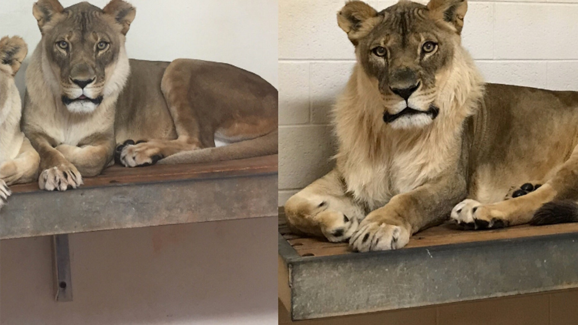 Bridget the lioness before and after growing her mane (Photo Credit Amanda Sorenson).