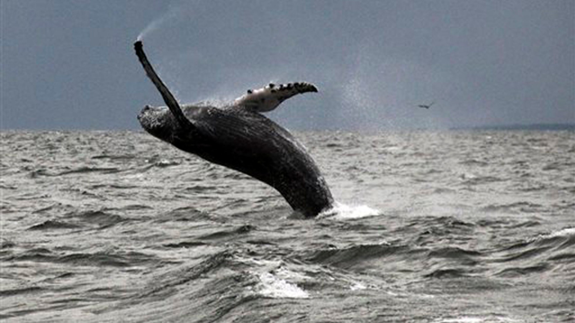 Sept. 12, 2015: In this photo provided by Dan Lent, a humpback whale breaches the water in Long Island Sound off the coast of Stamford, Conn. Biologists at the Maritime Aquarium at Norwalk, Conn., said whale sightings on the sound this year are the first in more than two decades.