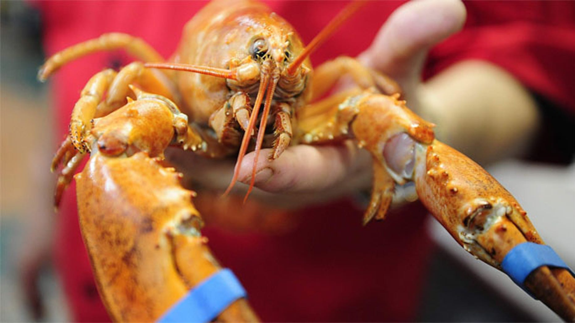 A rare live orange Maine lobster arrives at Bill's Steak and Seafood Restaurant in Naples. It has been named Martha and will be displayed at Bill Sarro's restaurant.