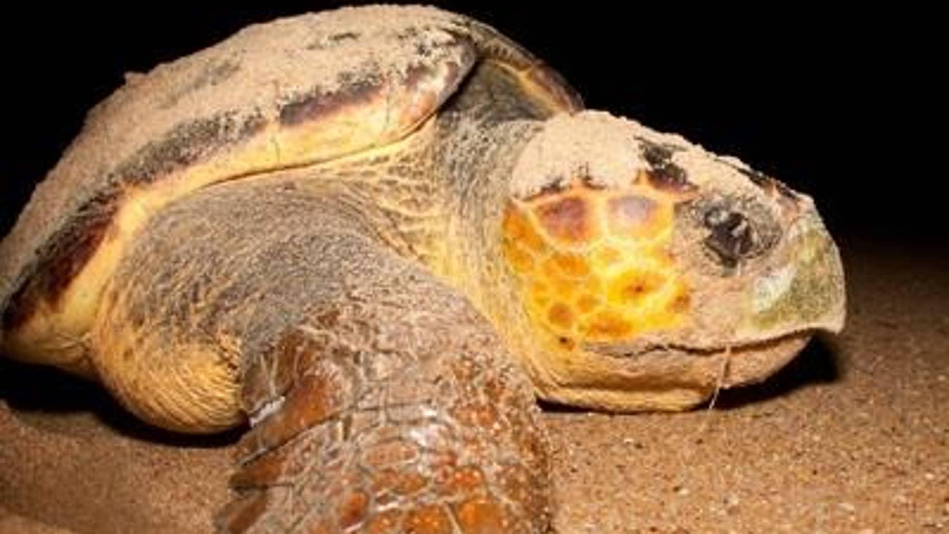 Loggerhead turtle. (Pojecto Tamar)