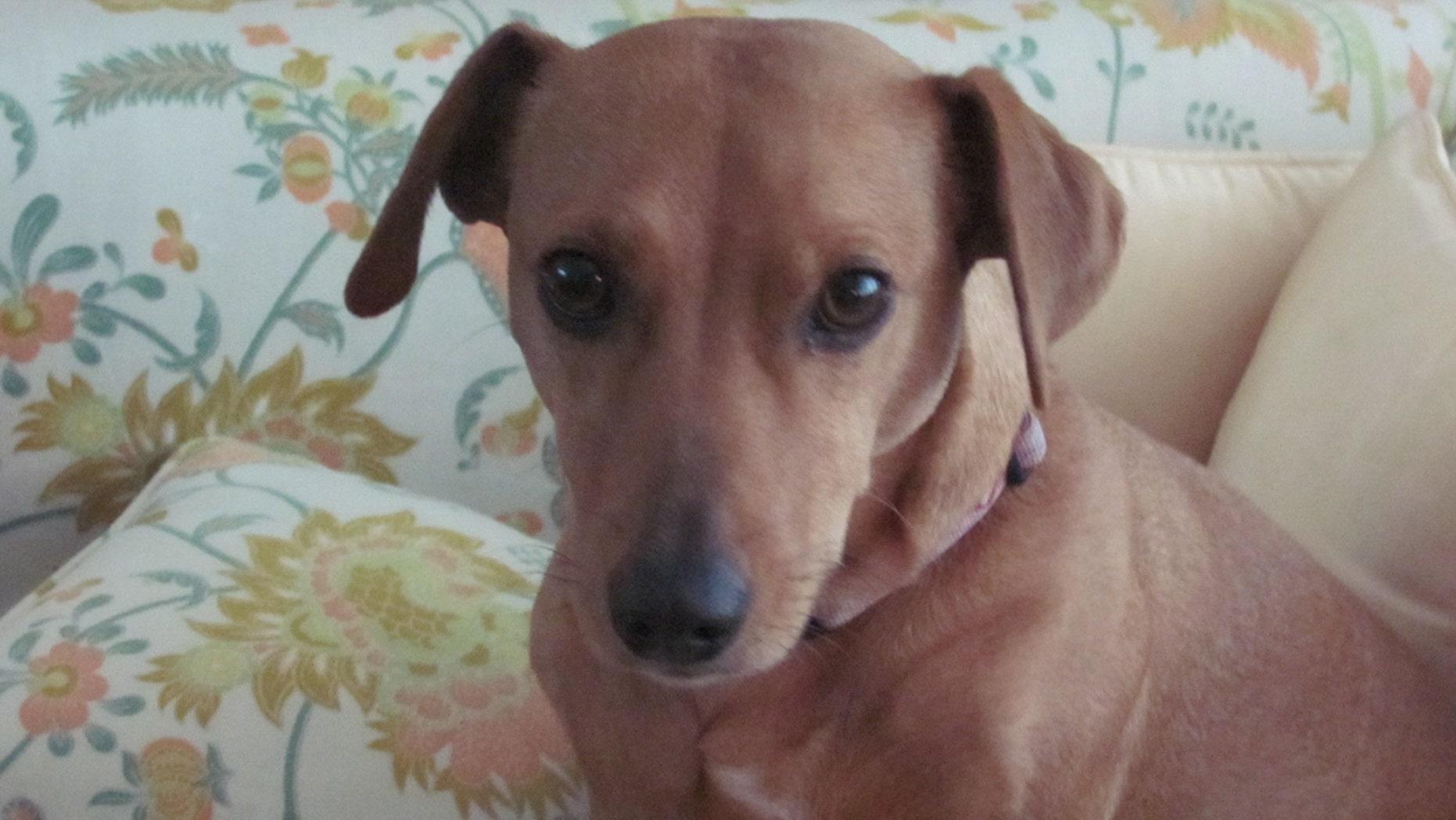 Lola the dachshund (Animal Legal Defense Fund)