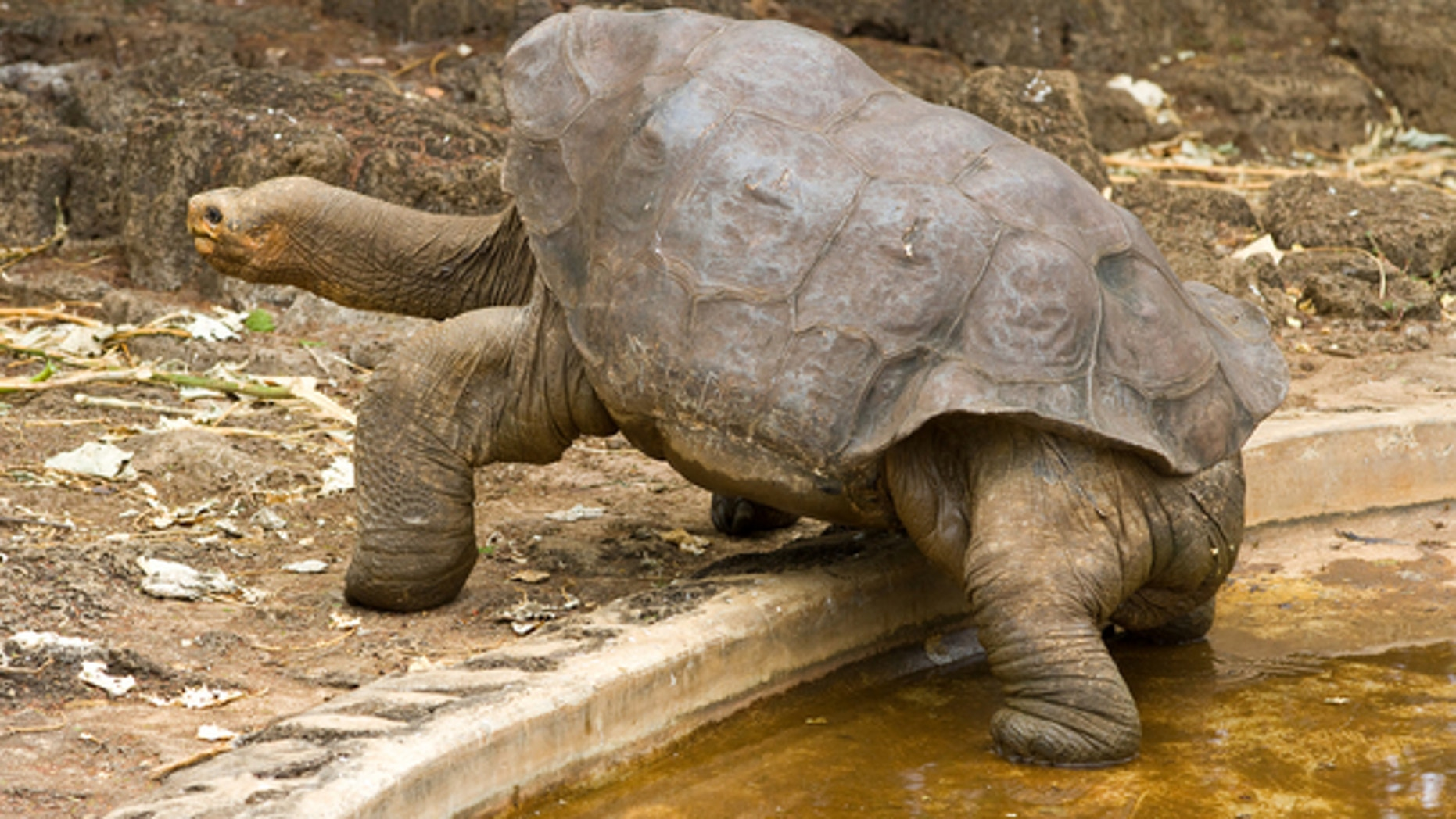 DNA analysis in the Galápagos Islands revealed 17 hybrid tortoises that can trace ancestry to Chelonoidis abingdoni, the species thought to have gone extinct with the death of Lonesome George this summer.