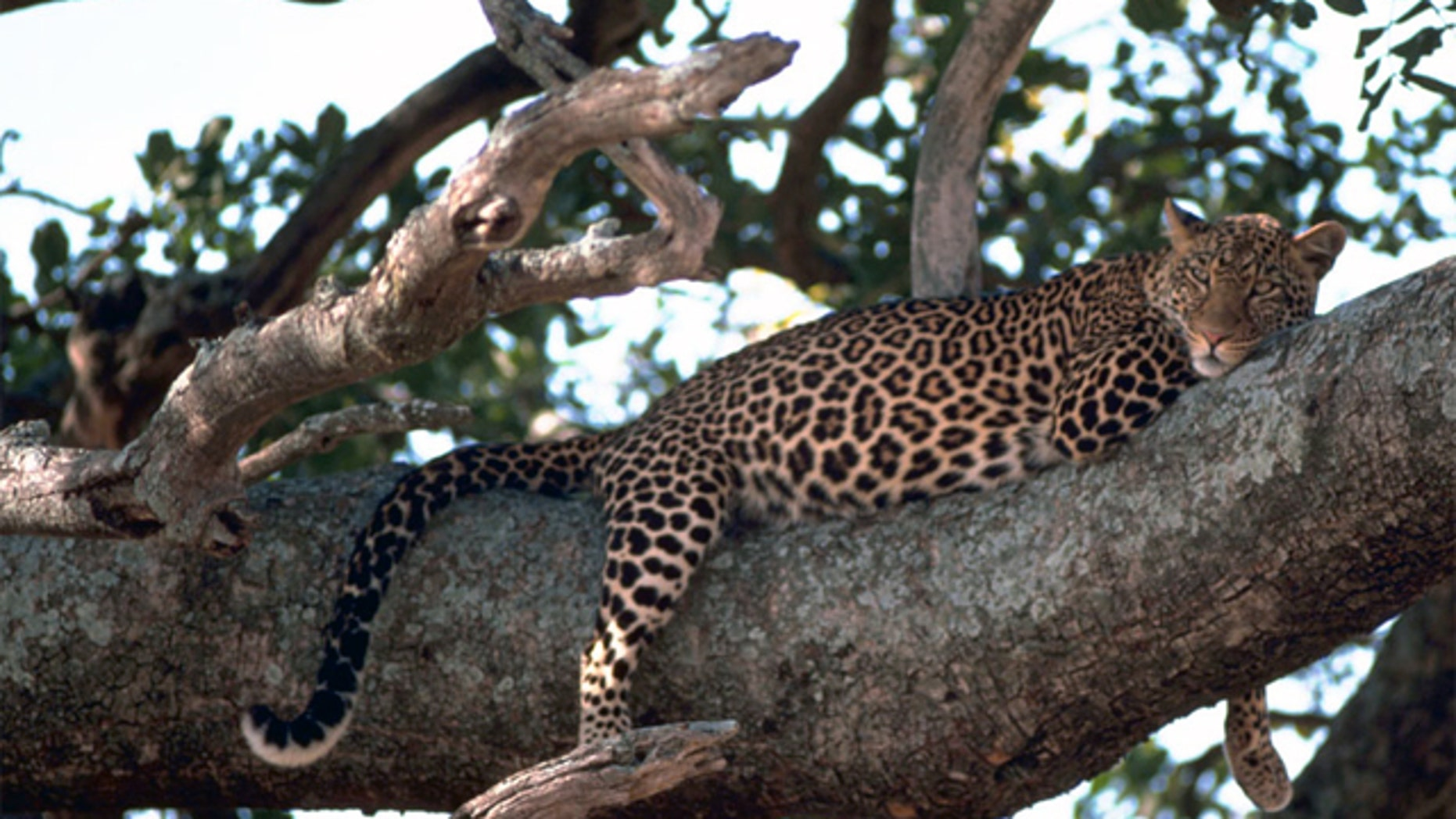 Experts are blaming locals for encroaching into leopard territory.