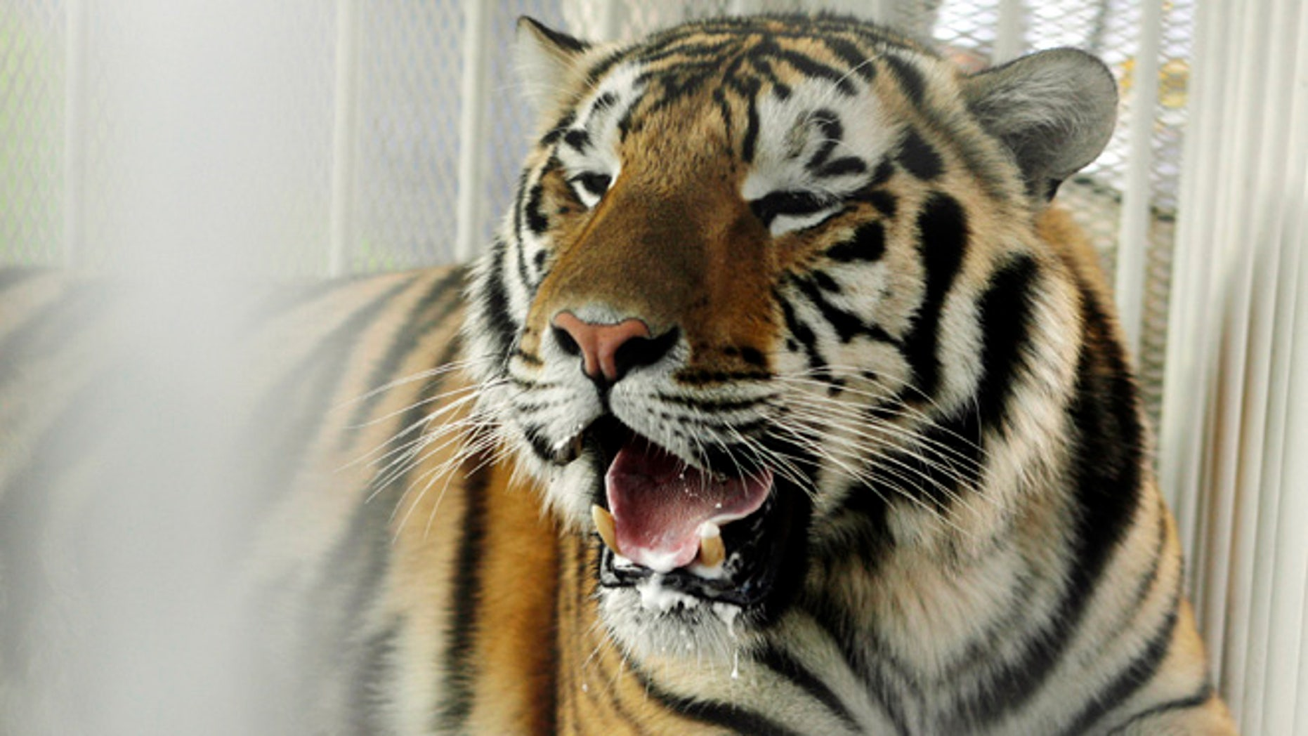 In this Oct. 6, 2007, file photo, LSU mascot Mike VI, a part Bengal and Siberian tiger, sits in his cage on the field for his first time before an NCAA college football game between LSU and Florida in Baton Rouge, La.