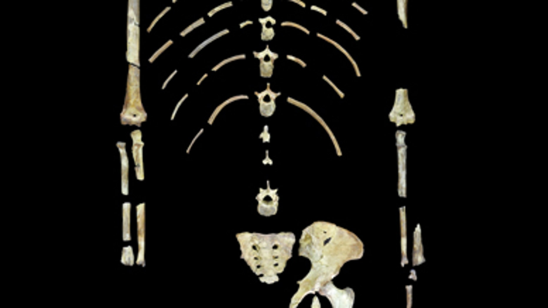 This undated image shows the skeleton of Lucy, a fossil specimen of an early human ancestor, Australopithecus afarensis.