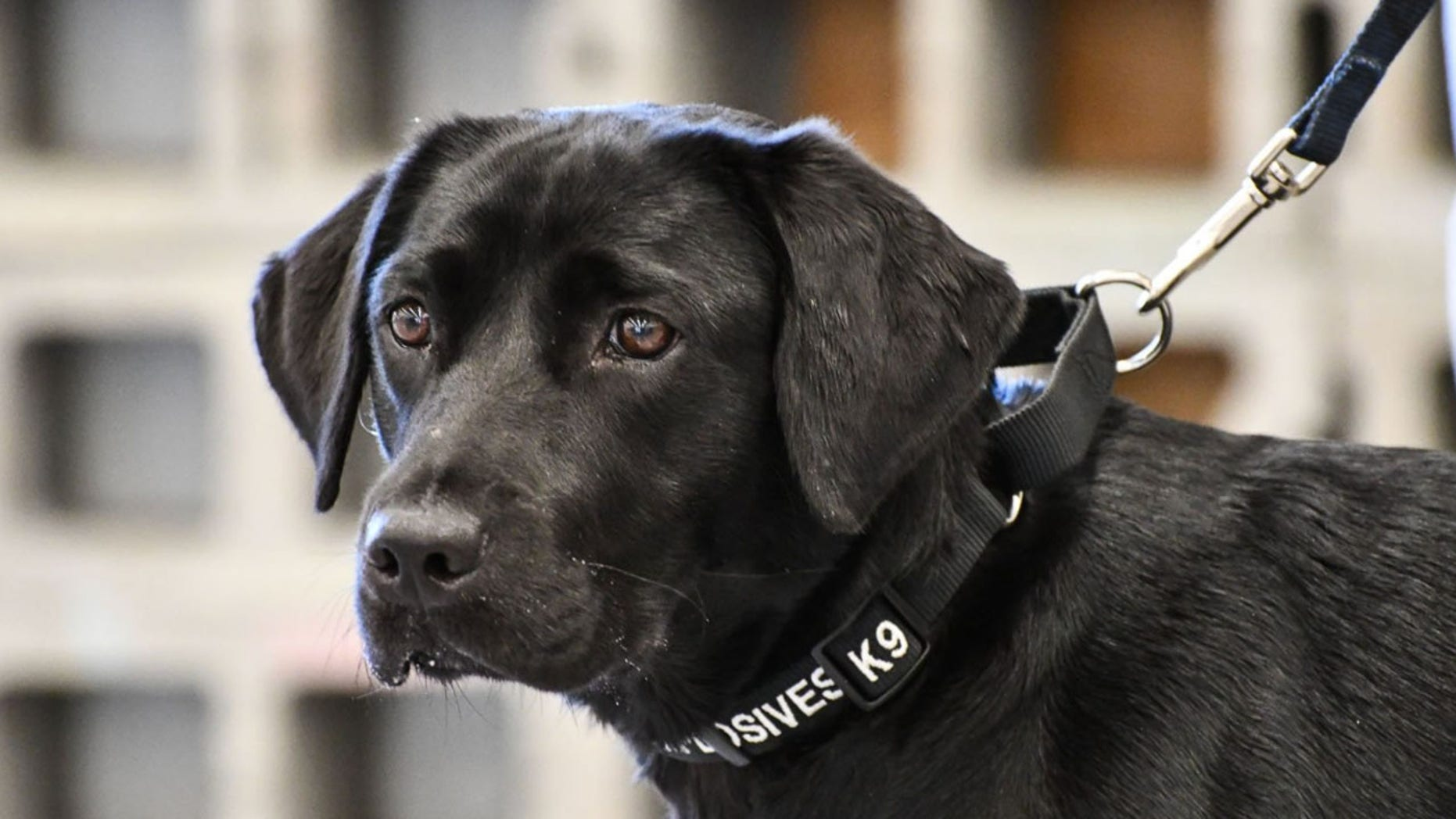 Lulu lost interest in during training to sniff out explosives for the CIA's bomb detection program.