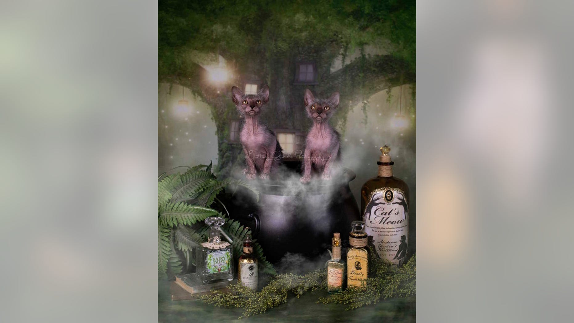 These two lykoi females bare a striking resemblance to a mythological creature — the werewolf.