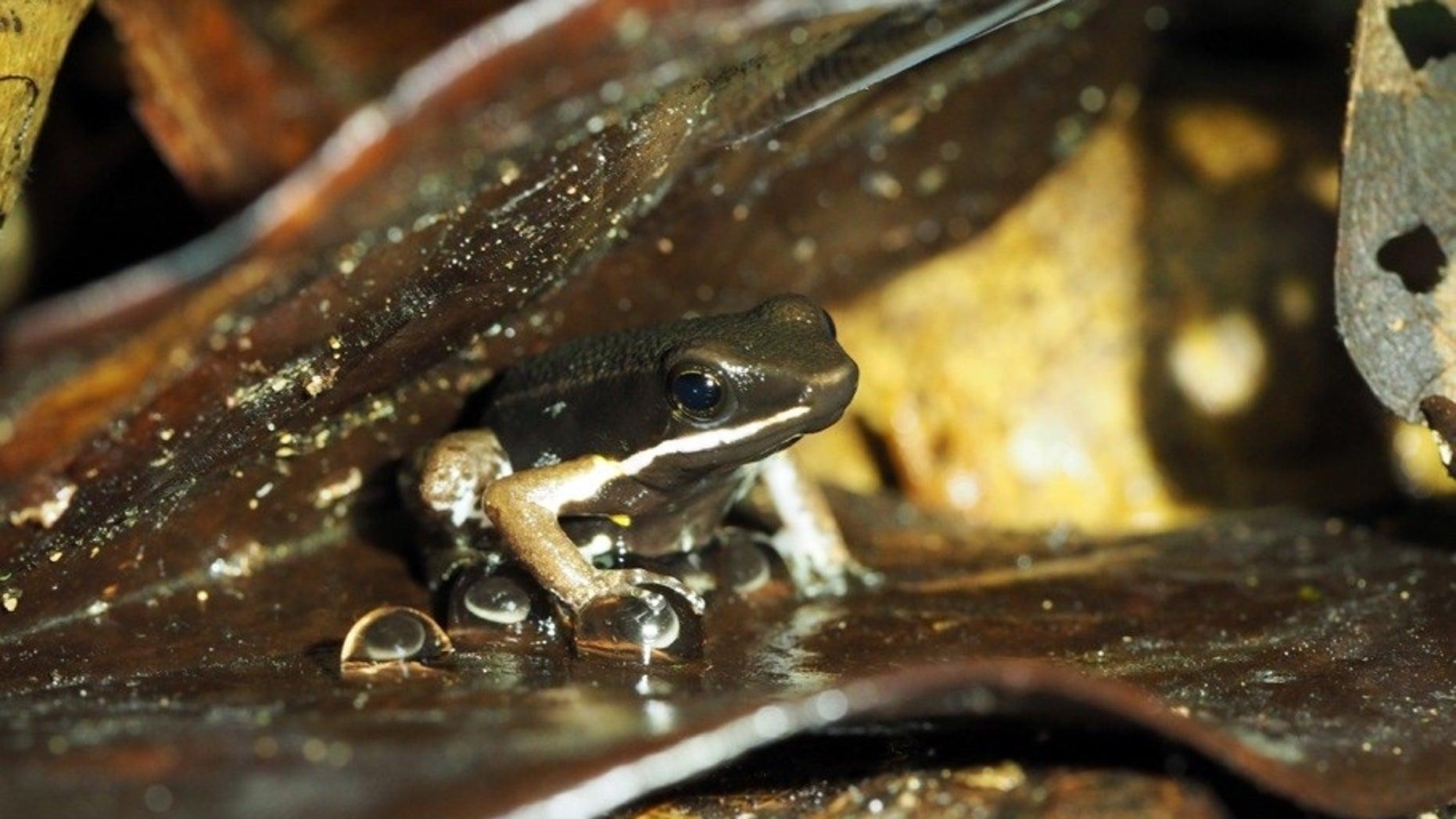 A male poison frog (<em>Allobates femoralis</em>) guards a clutch of eggs laid on leaf litter.