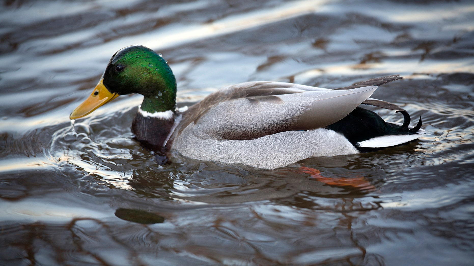 File photo -A Mallard Duck swims in a small open area of the ice jammed Delaware River in Trenton, New Jersey January 9, 2014. (REUTERS/Carlo Allegri)