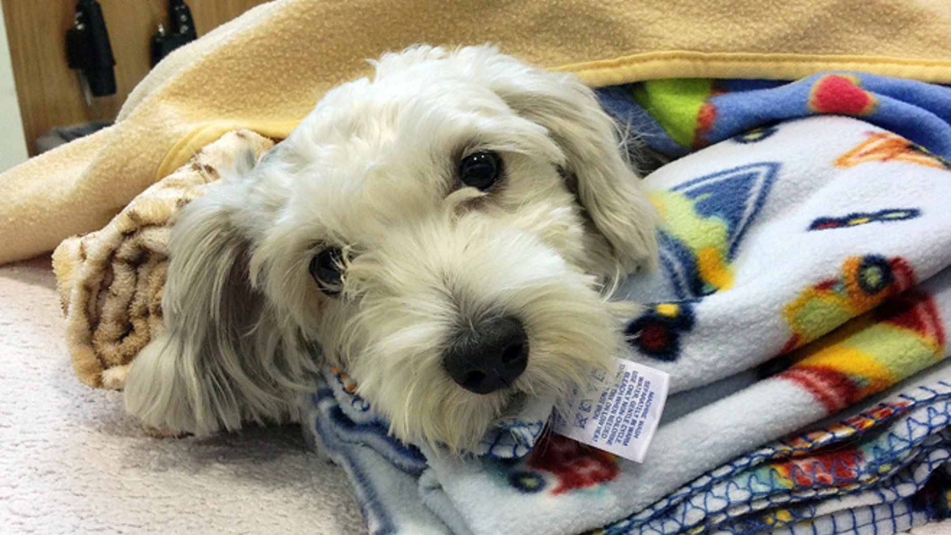 Sept. 18, 2014: This photo provided by ACCESS Specialty Animal Hospitals shows Gordo, a 1- to 2-year-old Maltese mix that was struck by a van during a police chase Wednesday night, being cared for at City Of Angels Veterinary Specialty Center in Culver City, Calif.