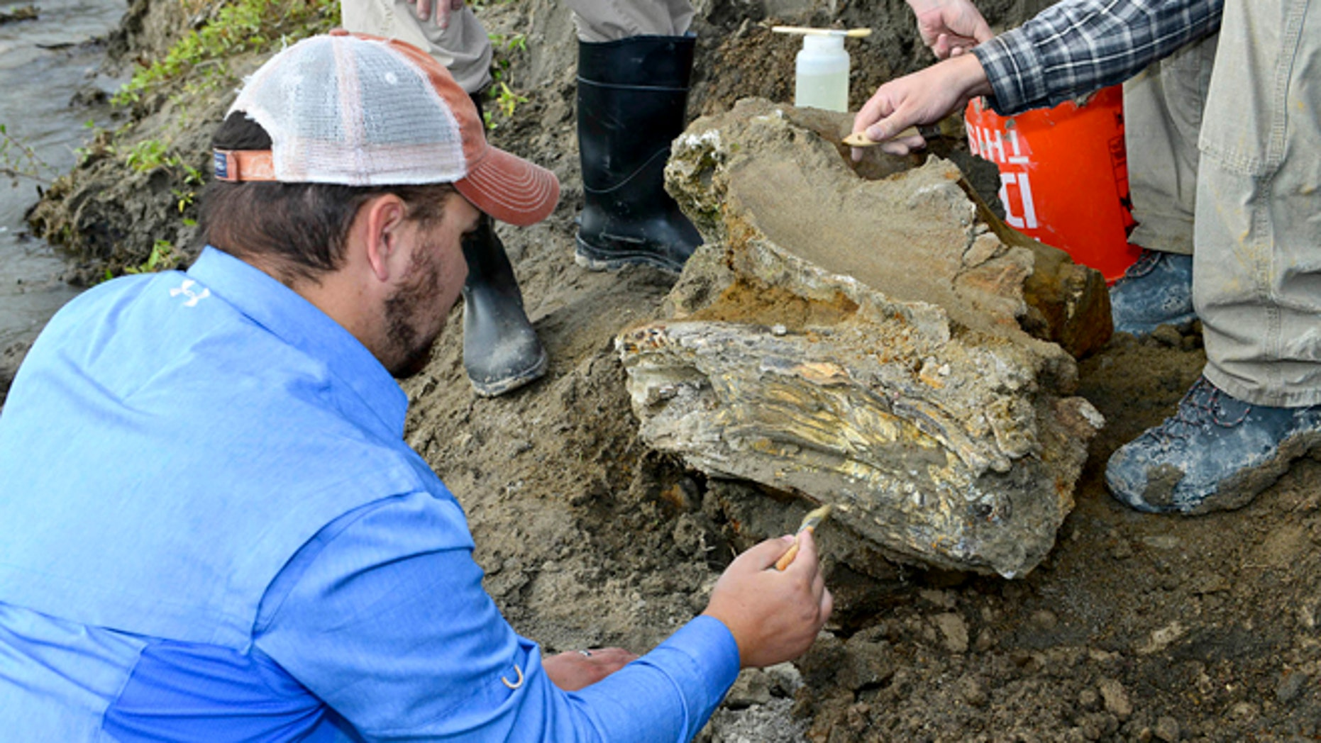 Oct. 16, 2014: Idaho State University geology student Travis Helm brushes and cleans a mammoth skull discovered near American Falls Reservoir near American Falls, Idaho.