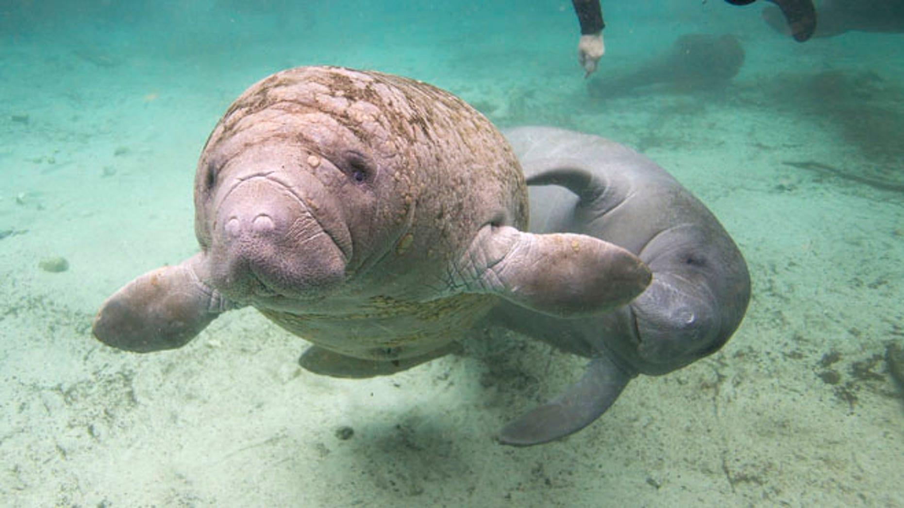 Jan. 15, 2015: Florida manatees swim in Crystal River, Fla.