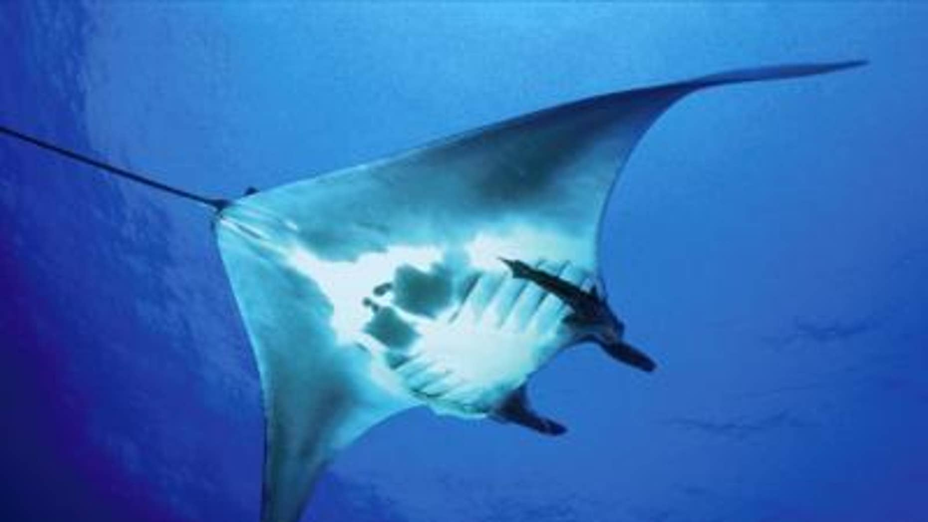 Researchers from the Wildlife Conservation Society, the University of Exeter, and the Government of Mexico have published the first-ever satellite telemetry study on the manta ray, the world's largest ray species.