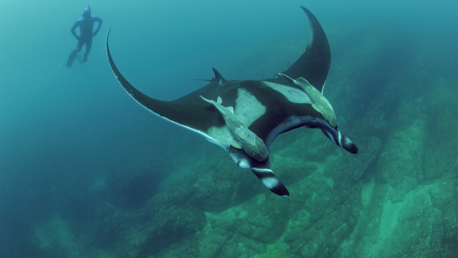 Scripps graduate student Josh Stewart swims near a giant oceanic manta ray at Bahia de Banderas, off Mexico's Pacific coast.
