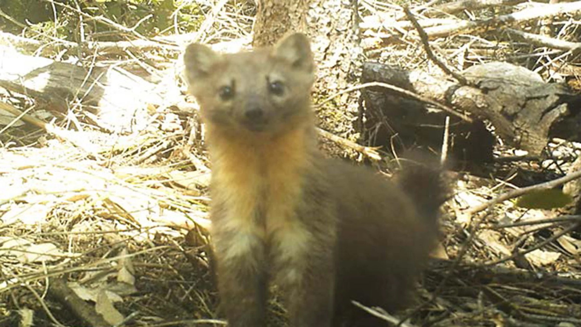 The Humboldt marten (Martes caurina humboldtensis) is an elusive forest creature that may soon be classified as endangered Credit: Charlotte Eriksson/Oregon State University