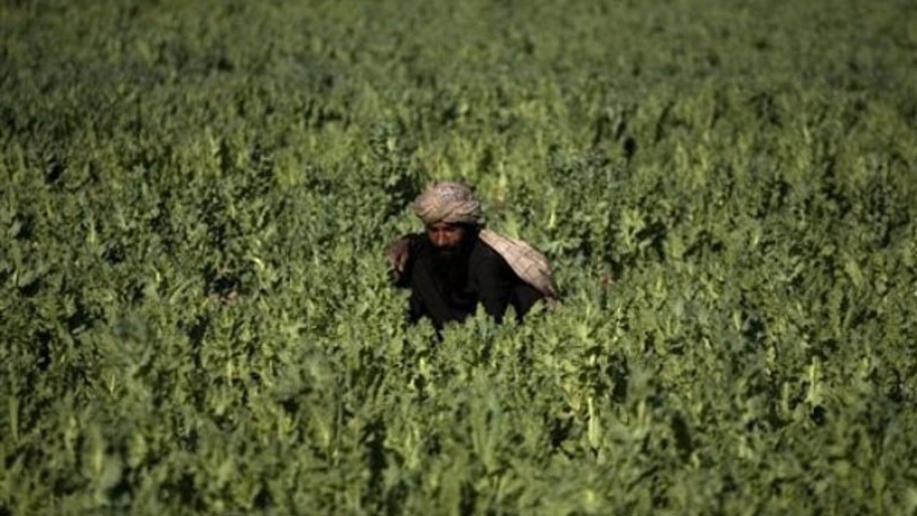 In this photo taken March 19, a farmer works in a poppy field in Marjah, Afghanistan. (AP Photo)