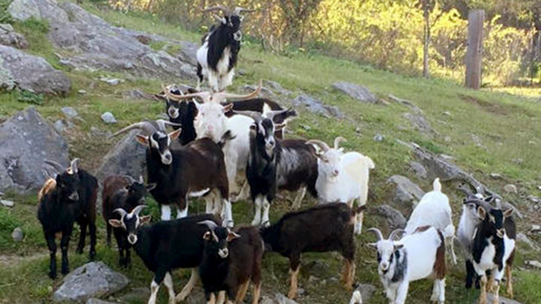 This May 2016 photo provided by the MSPCA-Nevins Farm in Methuen, Mass., shows some of nearly 50 goats voluntarily turned over by an owner in Montague, Mass., who couldn't handle the growing herd.