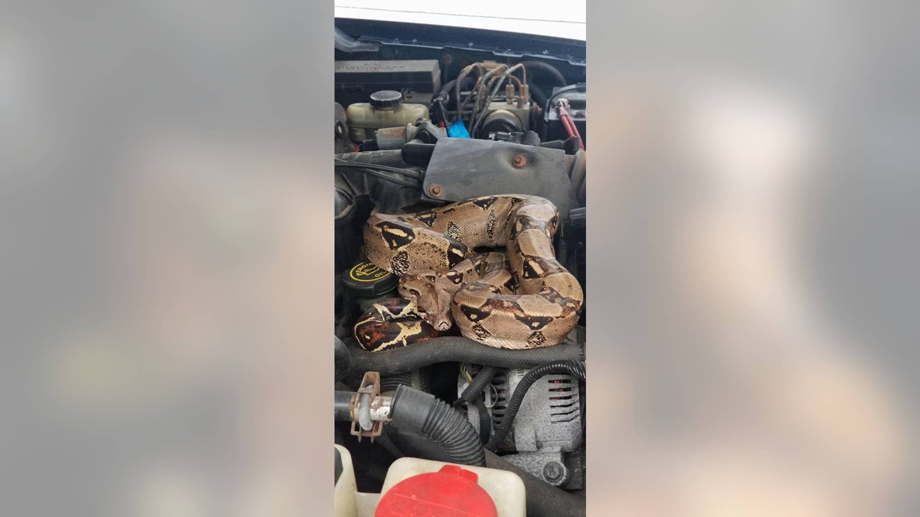 Police in Massachusetts were dispatched to deal with a shocking discovery Saturday after a resident found a boa constrictor beneath the hood of a car.