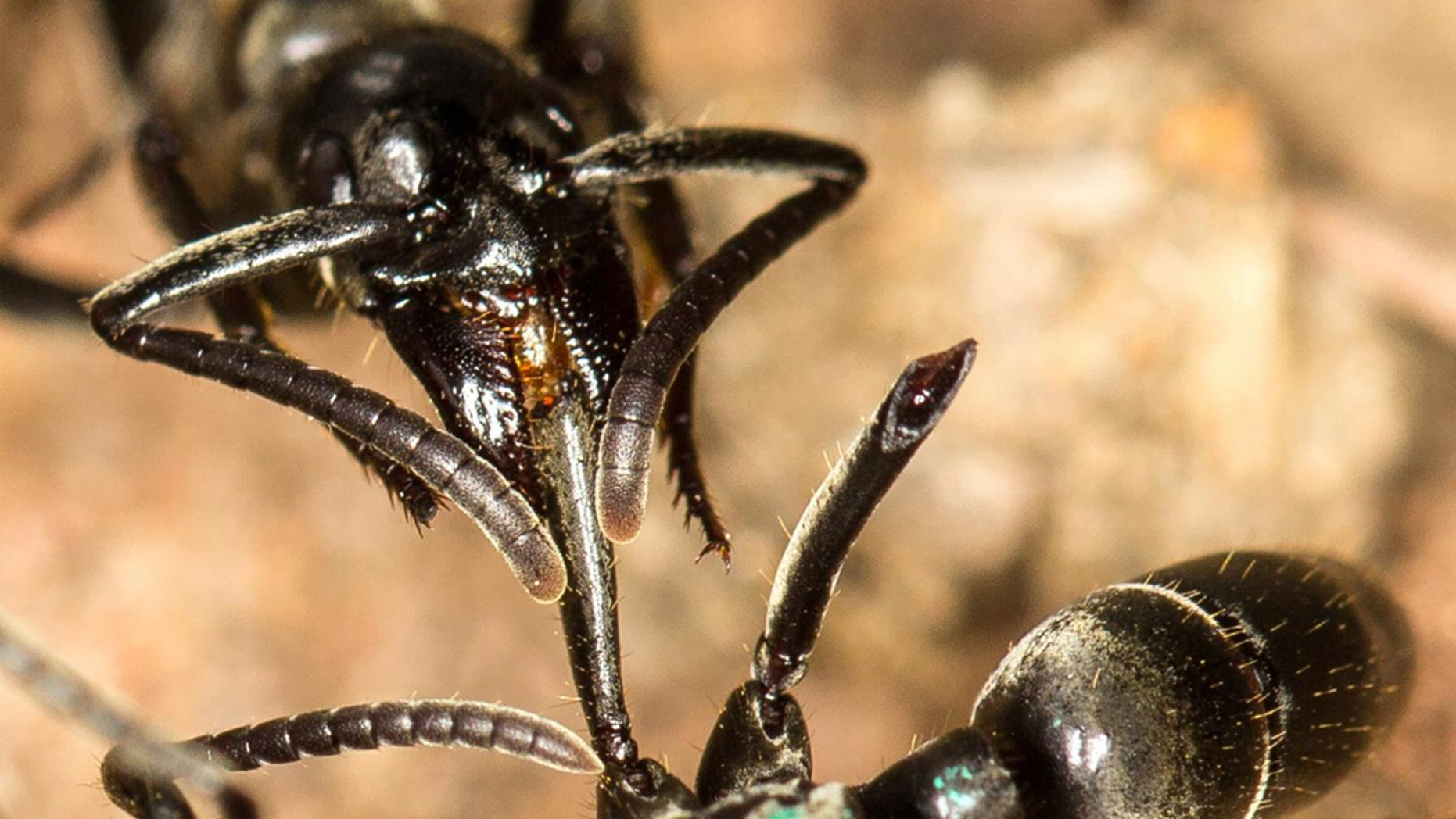 A Matabele ant treats the wounds of a mate whose limbs were bitten off during a fight with termite soldiers.  CREDIT (Photo: Erik T. Frank, University of Würzburg)