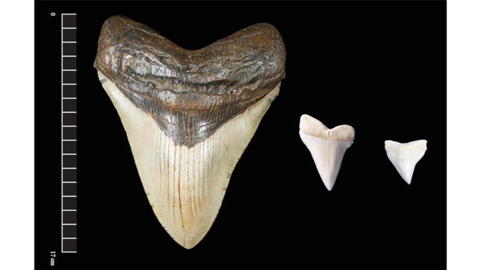 The fossilized giant teeth of extinct megalodon sharks have also been found in sacred caches buried at several ancient Maya sites.