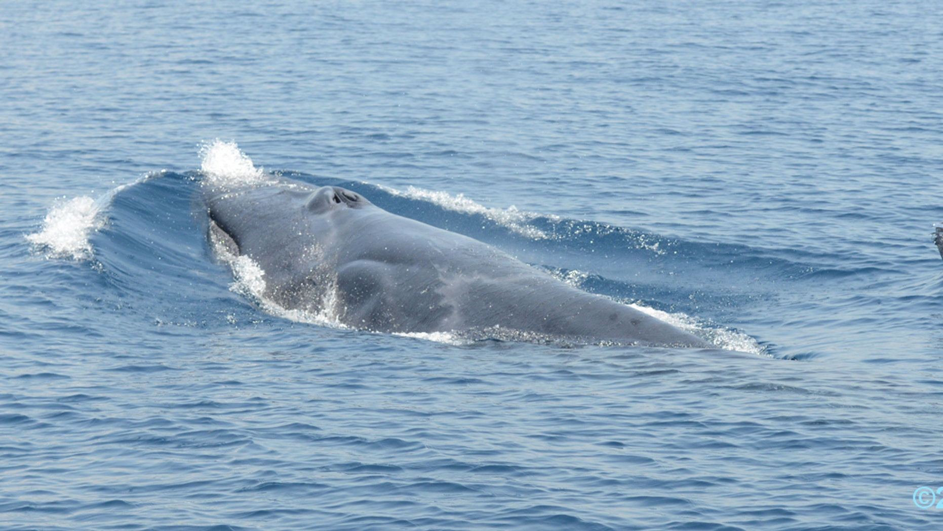 Omura's whale mother and calf. (B. Andrianantenaina)