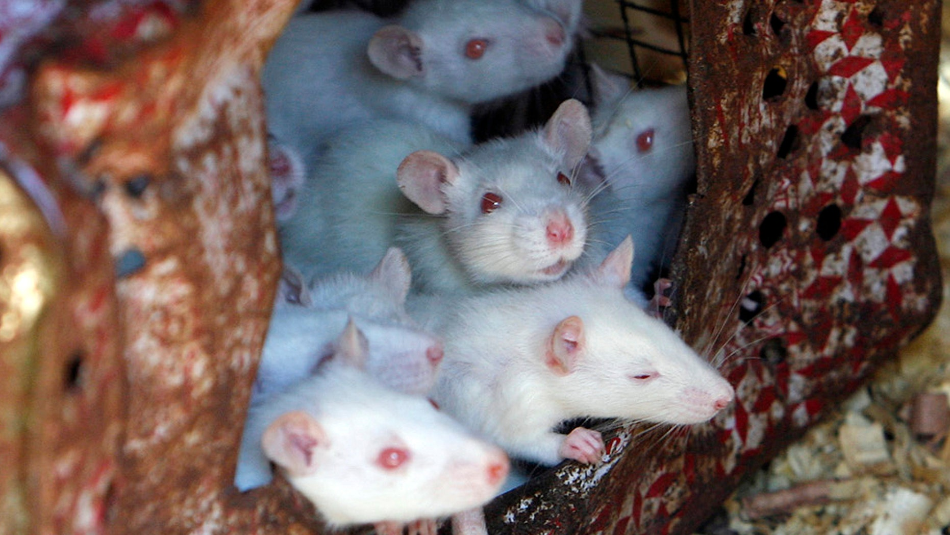 Two new studies reveal the disturbing germs mice in New York City carry.