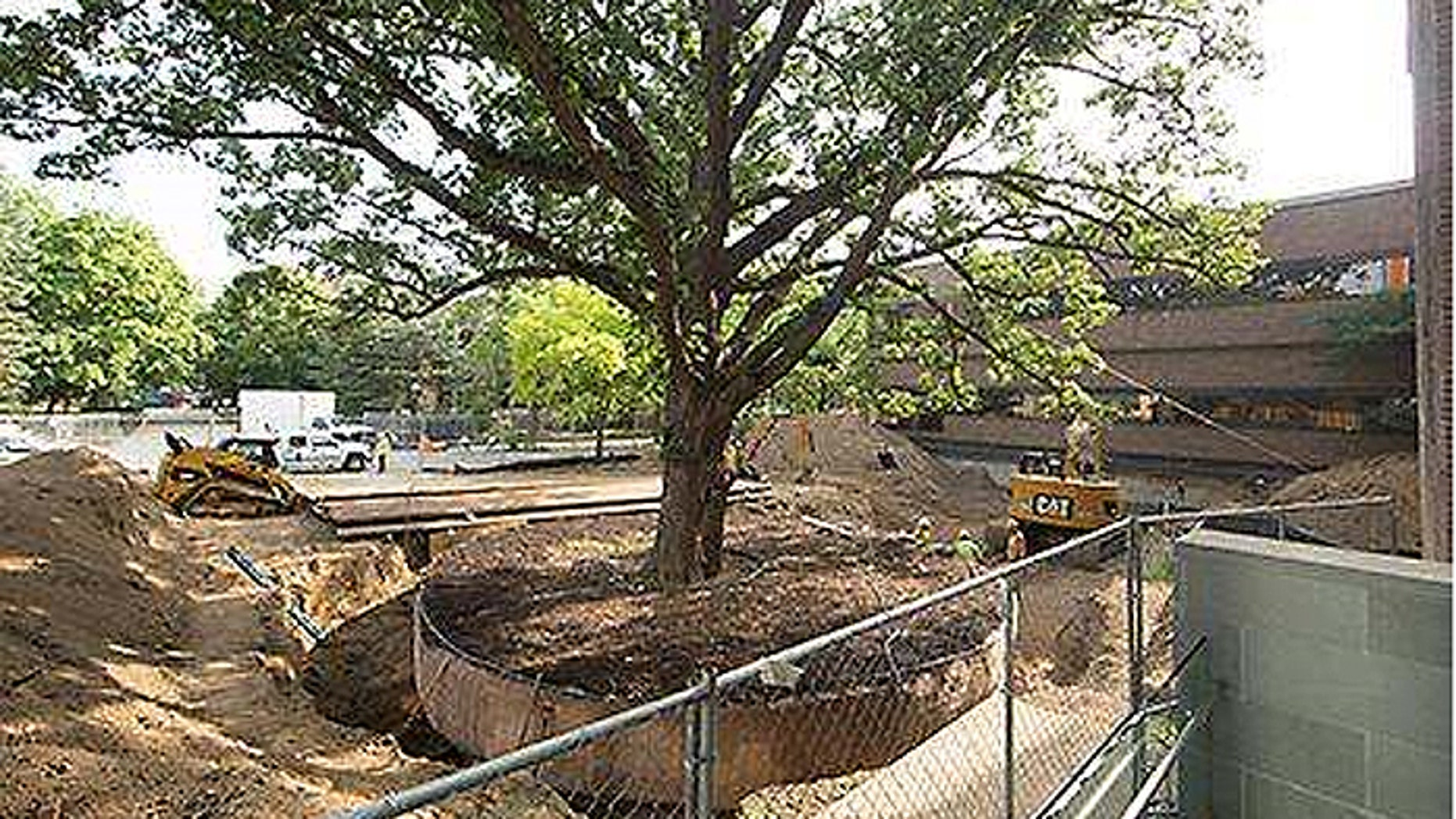 The burr oak has stood for as long as 300 years, but now it is in the way of an expansion of the University of Michigan's business school. (Courtesy: University of Michigan)