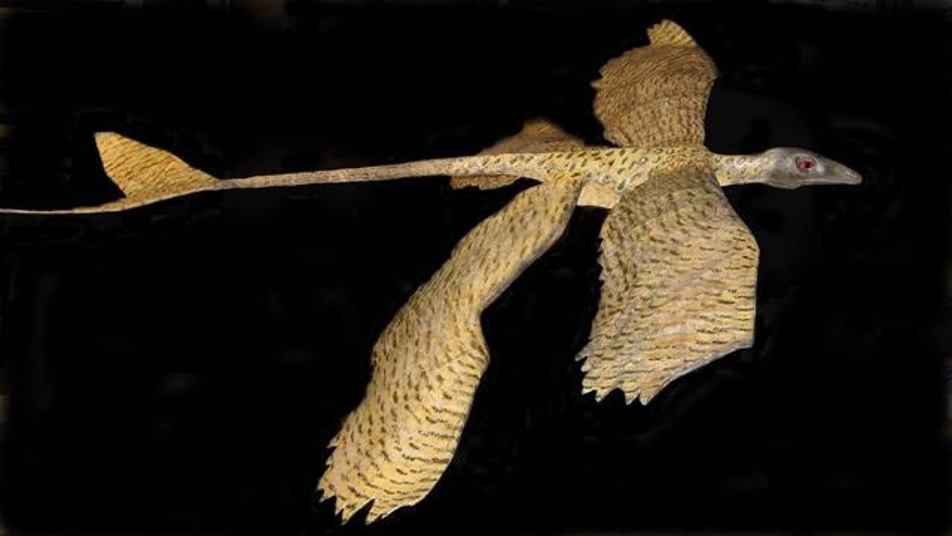 Scientists created a plastic model of a microraptor to show its gliding capabilities.