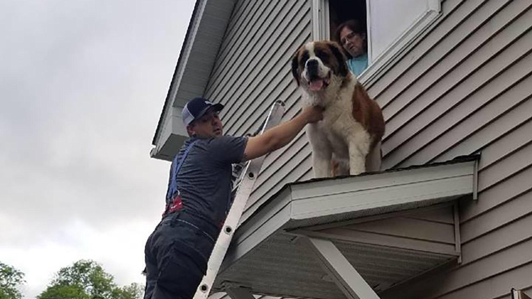 A Minnesota firefighter helps rescue Whiskey, the Saint Bernard.