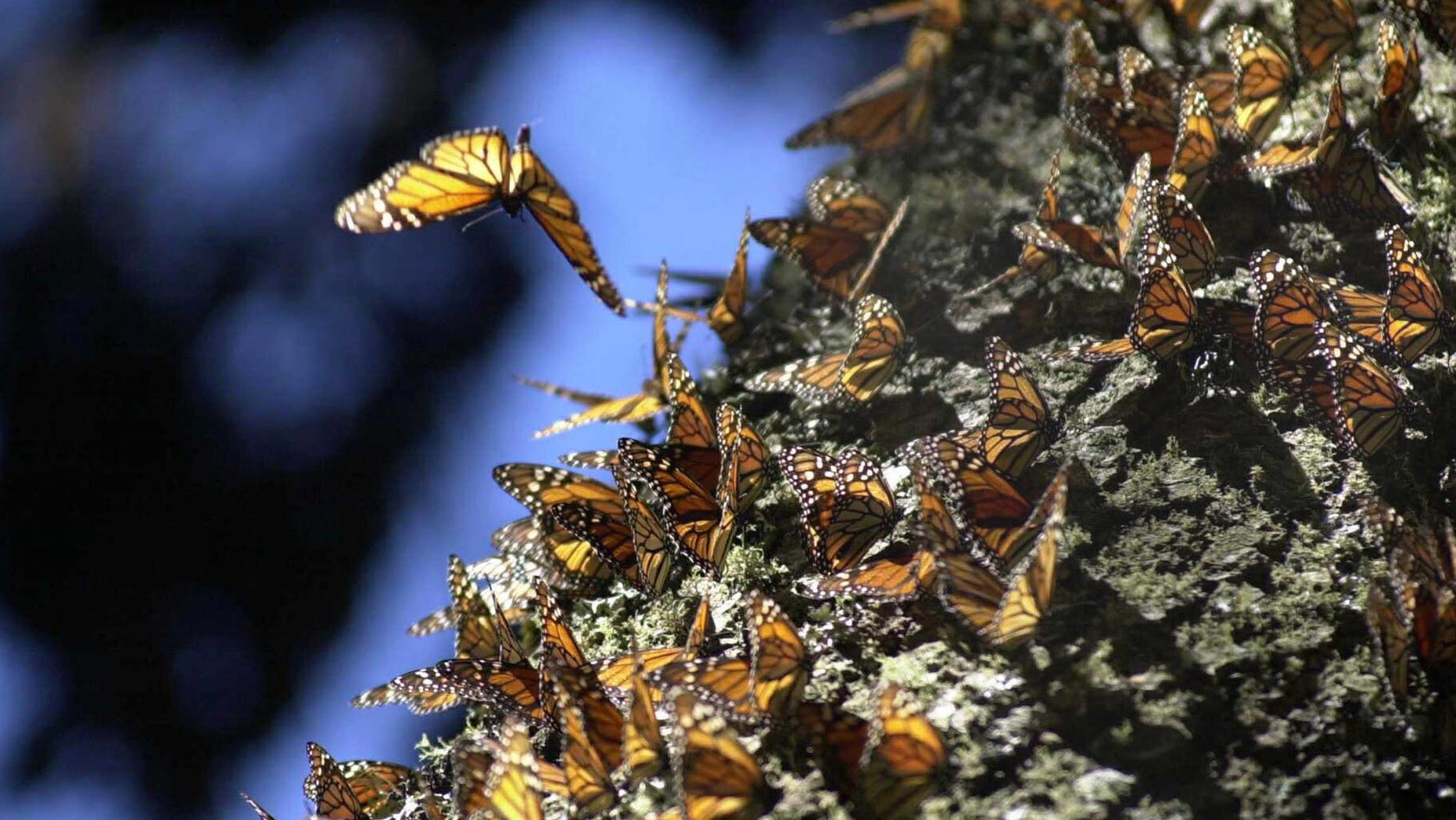 384897 02: Monarch butterflies gather on an Oyamel tree January 29, 2001 at the butterfly sanctuary in Michoacan, Mexico. Some 100 million or more of the orange and black butterflies migrate annually from Canada to the forest in Michoacan. (Photo by Susana Gonzalez/Newsmakers)