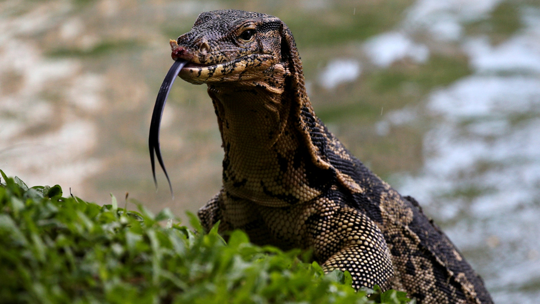 A monitor lizard is pictured at Lumpini park in Bangkok, Thailand.