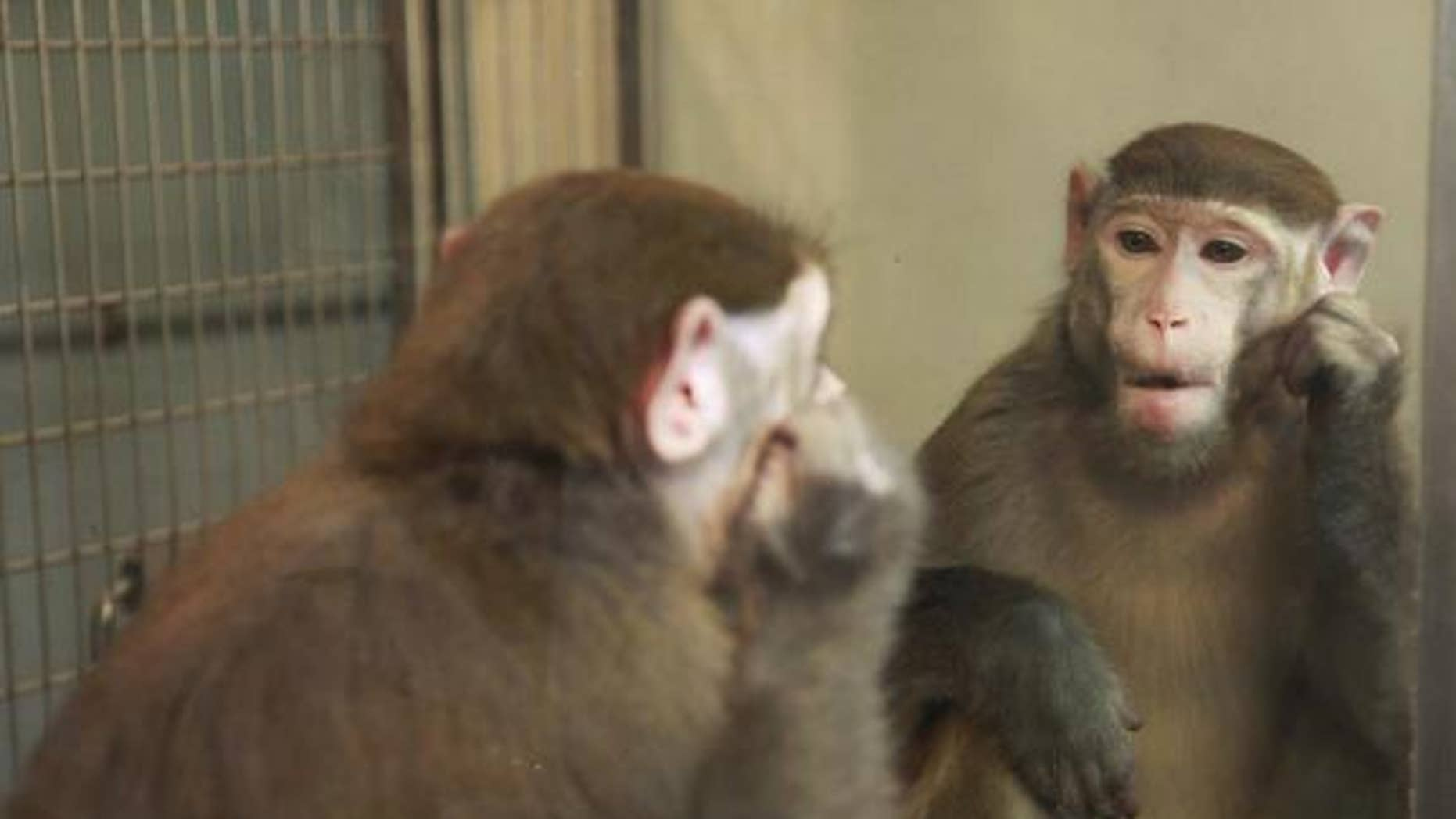Humans aren't the only animals that can recognize themselves in the mirror. A new study suggests that monkeys can, too, with a little training.