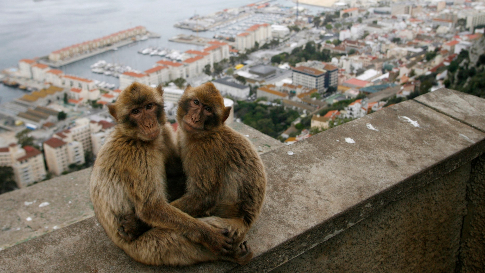 Gibraltar monkeys sit on the top of the Rock of Gibraltar overlooking the colony.