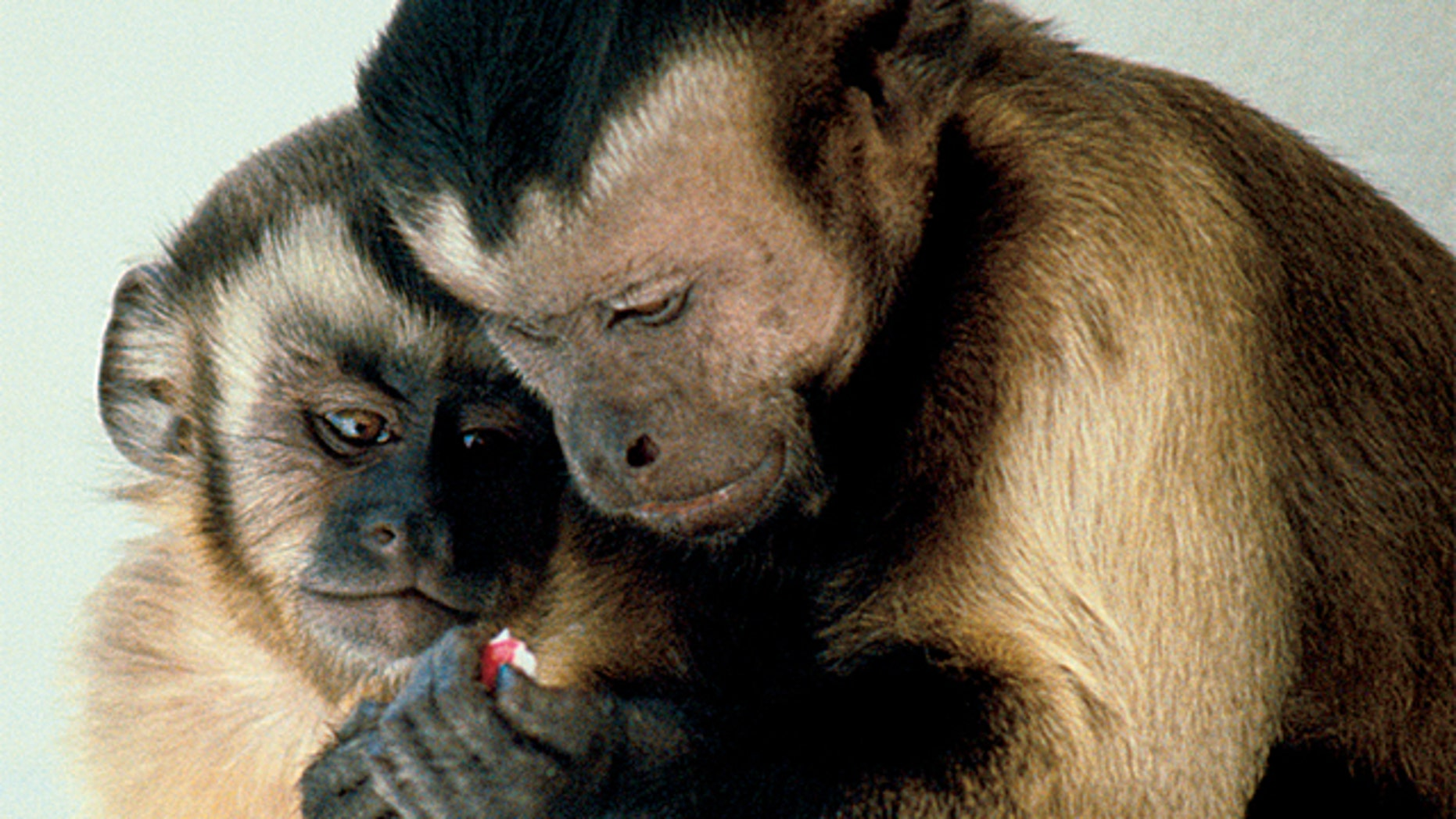 Advetising execs and scientists are experimenting with ads designed specifically to target capuchin monkeys like these.