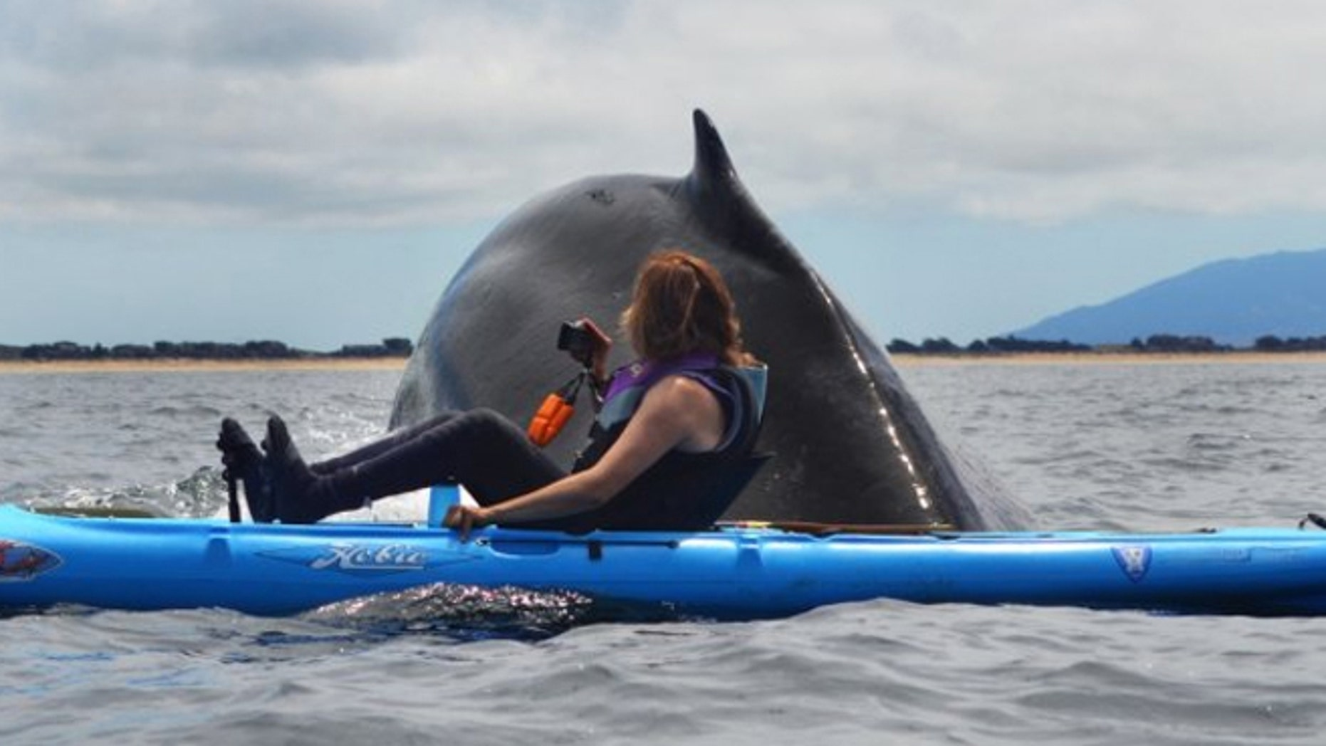 A humpback whale surfaced next to Karen Hatch who watched from her kayak.