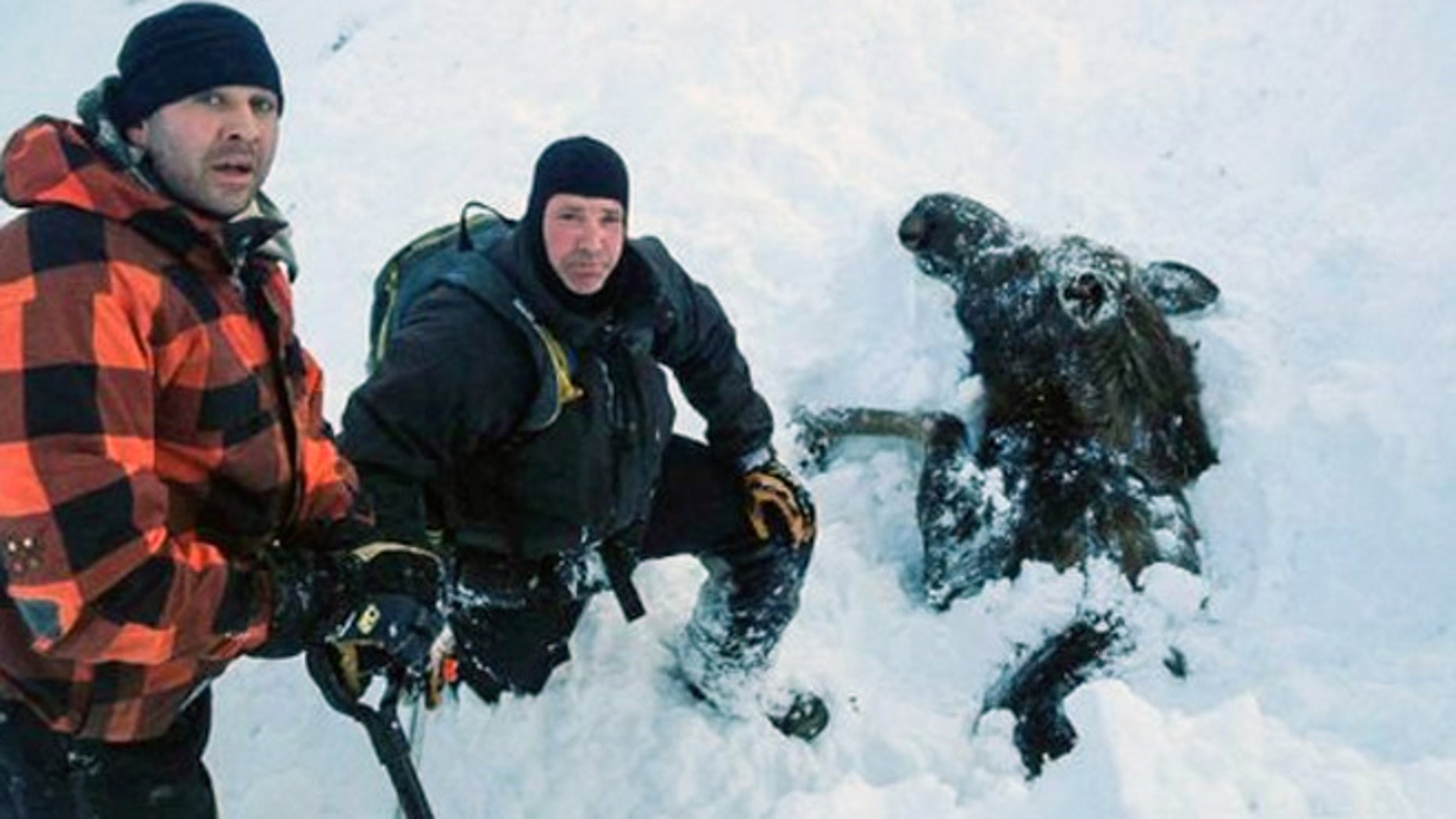 From the left, Robert Uphus, Marty Mobley pose next to a moose buried in snow. Uphus told FoxNews.com the moose sprinted away moments after it was freed.