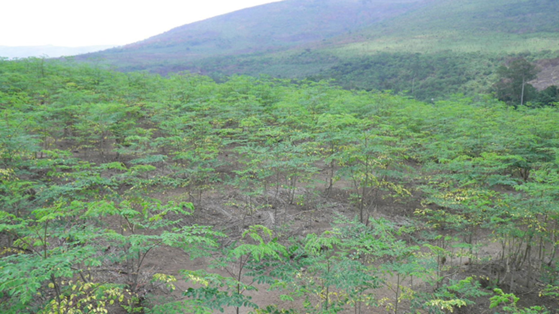 A plantation of young moringa trees in Congo.