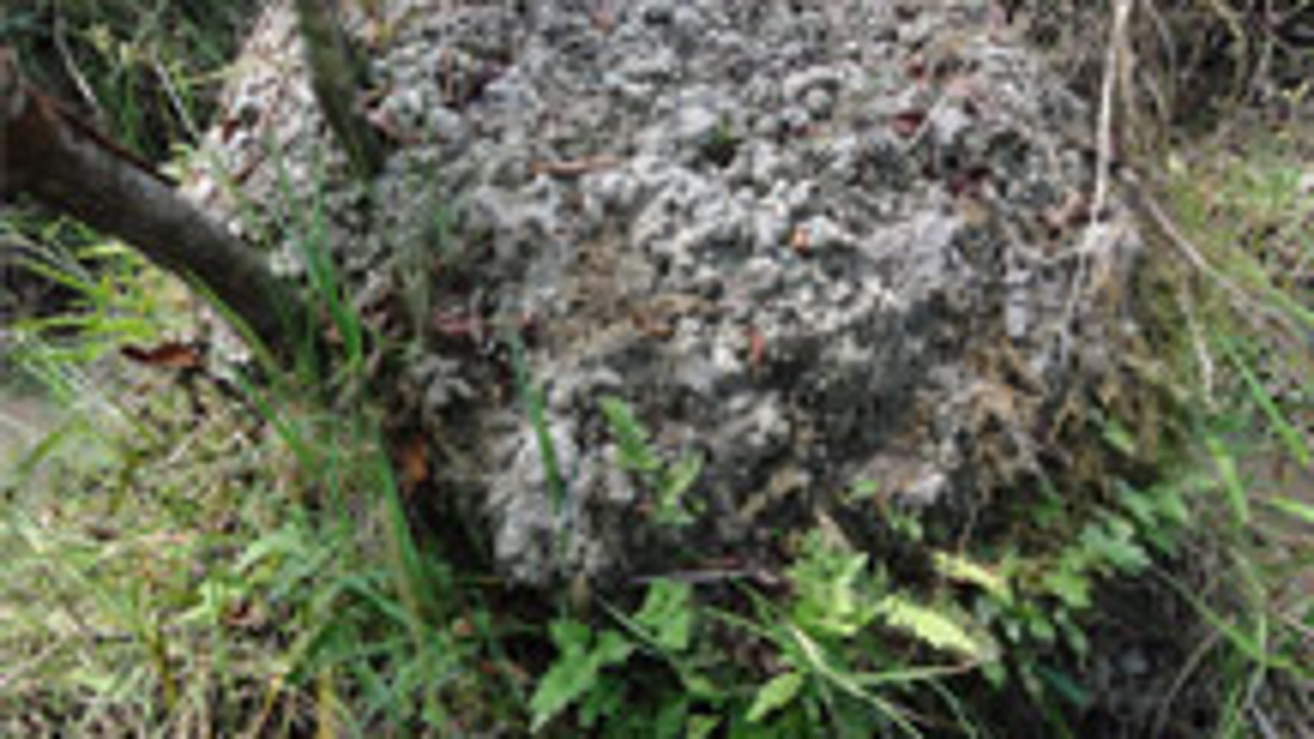 Large worms create surales in South American wetlands. (University of Exeter)
