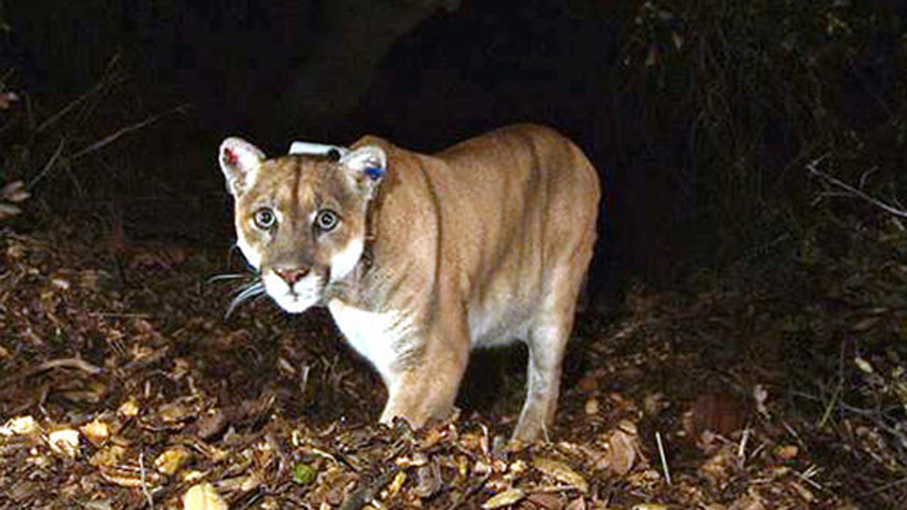 A mountain lion is seen in 2014 in Griffith Park in Los Angeles. A juvenile mountain lion jumped through a woman's window July 4 in Colusa, California.