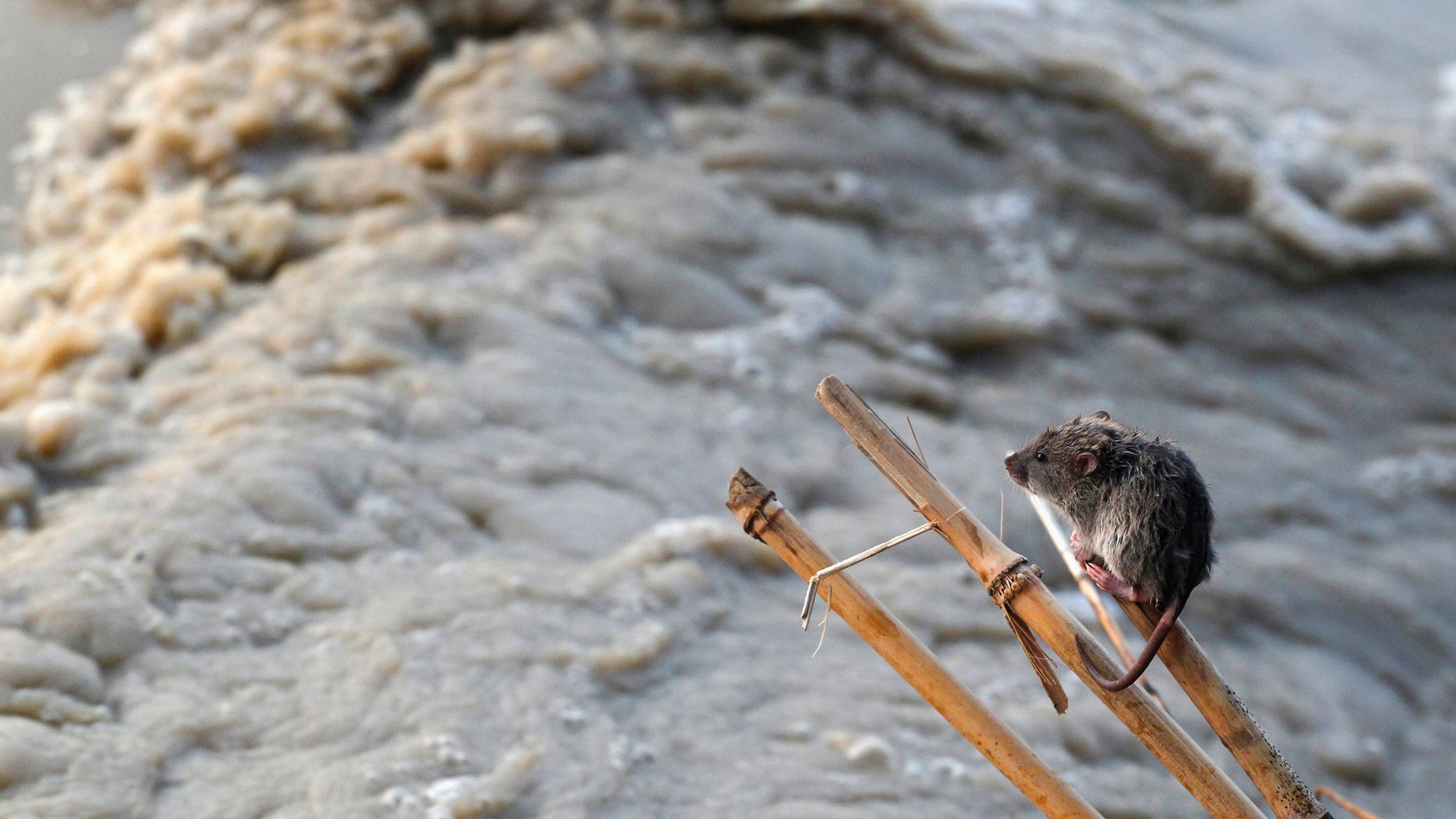 File photo: A stranded mouse rests on a stick next to the rising waters of river Yamuna in New Delhi June 19, 2013. The rains are at least twice as heavy as usual in northwest and central India as the June-September monsoon spreads north, covering the whole country a month faster than normal. (REUTERS/Anindito Mukherjee)