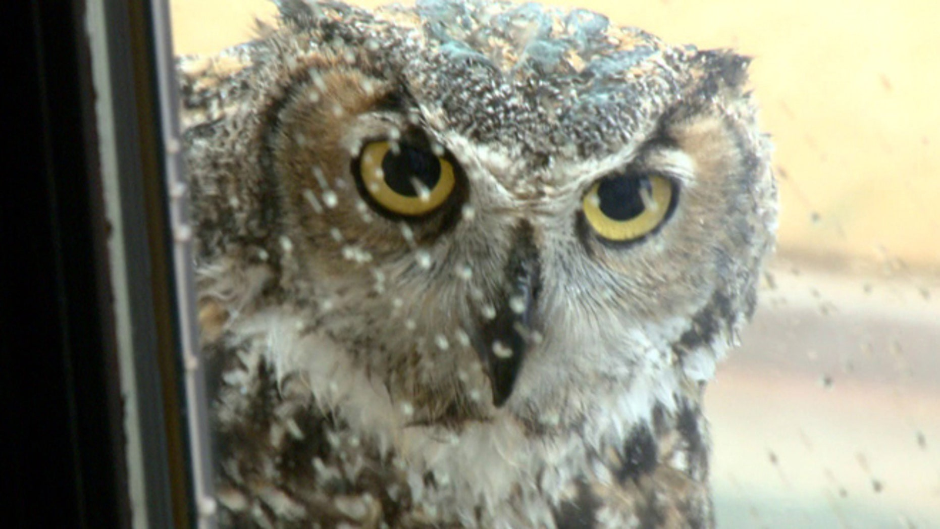 "Great horned owl known as ""Mrs. Tiger"" in Oklahoma City. (KFOR-TV)"