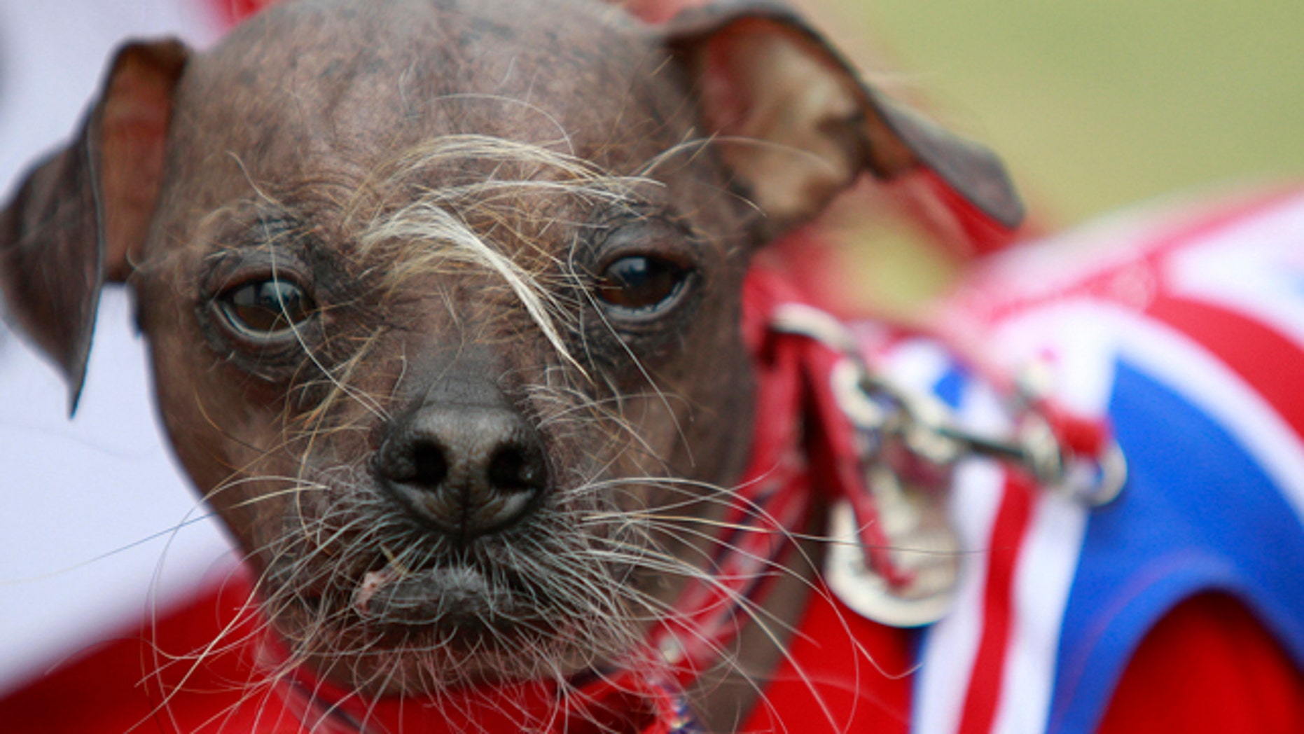 June 22, 2012: Suzanne Marta holds up her Chinese crested dog, Handsome Hector, Mugly, a Chinese crested dog, owned by Bev Nicholson of Peterborough, England won the title of World's Ugliest Dog at the Sonoma-Marin Fair in Petaluma, California. (AP/The Press Democrat, Beth Schlanker)
