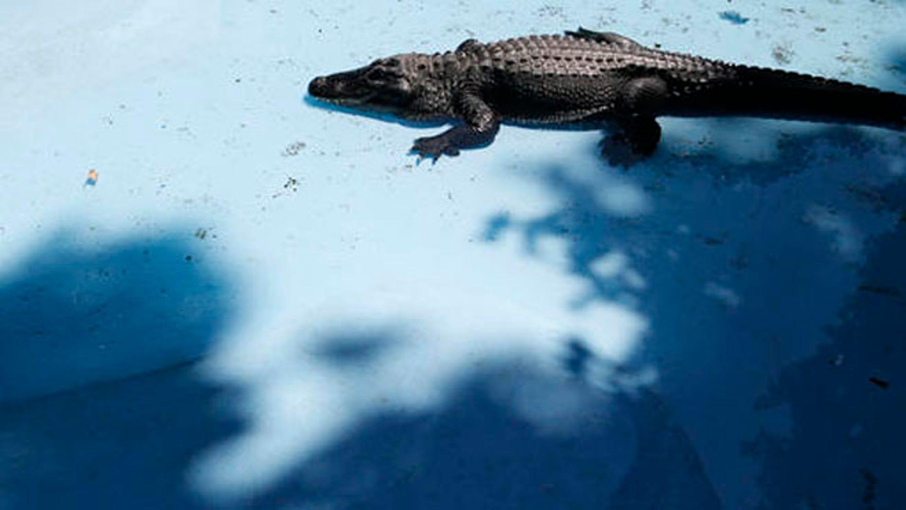 Muja the alligator moves in the pond in Belgrade Zoo, in Belgrade Serbia, Friday, Aug. 5, 2016. (AP Photo/Darko Vojinovic)